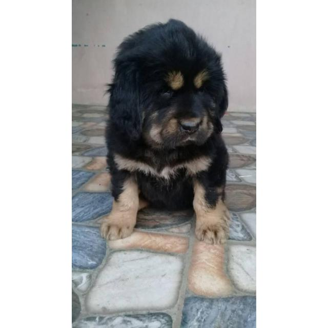 One months old pure blooded Tibetan Mastiff puppies for sale in