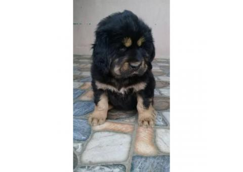 One months old pure blooded Tibetan Mastiff puppies for sale