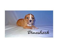ADBA registered Pit Bulldog puppies