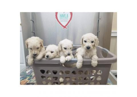 Full blooded standard poodle puppies are ready to go