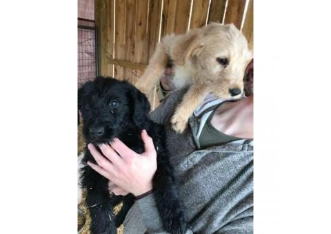 LabraDoodles 1 yellow female, 1 black female, and 1 caramel male available