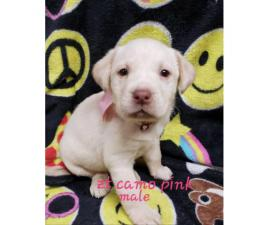 8 AKC Lab puppies for sale