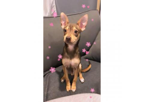6 months old  full bred chihuahua puppy for sale