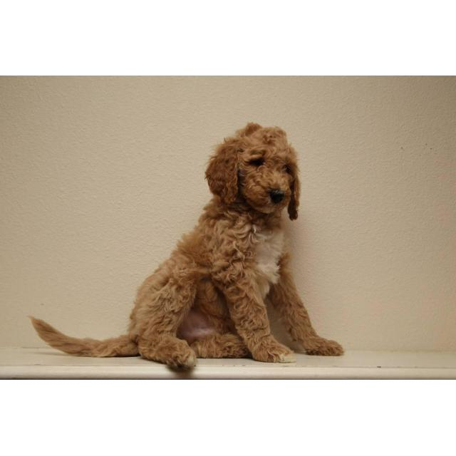 60 Days Old Beautiful Standard Poodle Puppies In Seattle