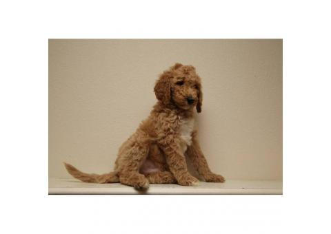 60 days old beautiful standard Poodle puppies