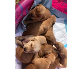 Pure bred golden retriever puppies 6 females, 4 males