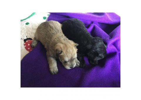 ACA registered Schnauzer Puppies for sale