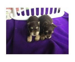 ACA registered Schnauzer Puppies for sale
