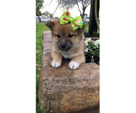 3 beautiful females Shiba Inu puppies for sale
