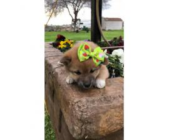 3 beautiful females Shiba Inu puppies for sale
