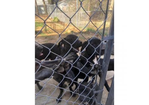 6 beautiful Cane Corso puppies looking for a new home