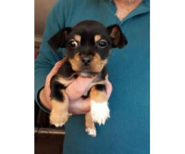 little male Jack Chi puppy to rehome