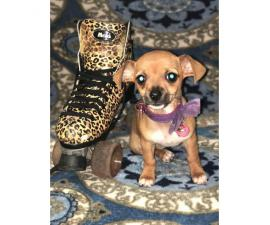 Adorable baby chihuahuas for sale