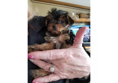 Two female  yorkie puppies Idaho