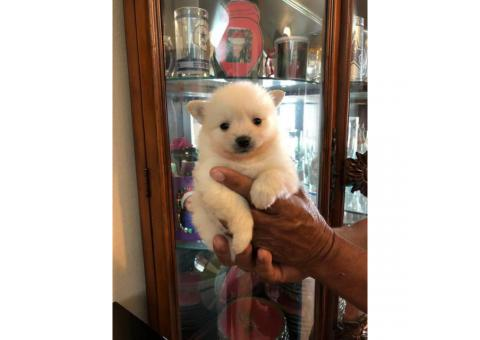 5 Pomeranian puppies for sale