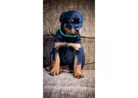 Female AKC Rottie Rottweiler Puppies