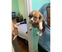 6 purebred Corgi puppies