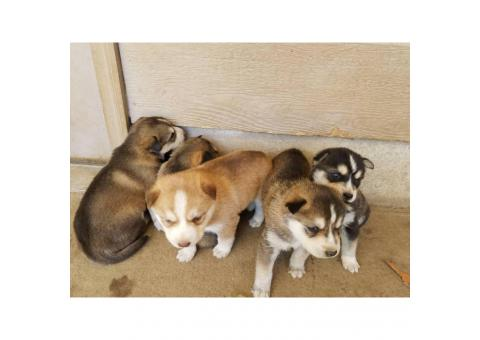 5 Siberian Husky puppies wil be ready on May 3rd