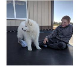 3 month old male Samoyed puppy