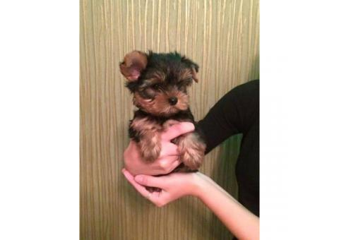 12 week old male Yorkie pup with gorgeous eyes