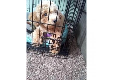 Beautiful no shedding toy poodle puppy