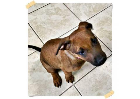 10 weeks old Female Chiweenie puppy for sale