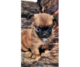Applehead purebred Chihuahua Teacup Puppies