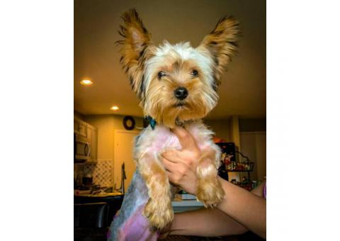 2 male AKC registered Yorkie puppies 5 months old