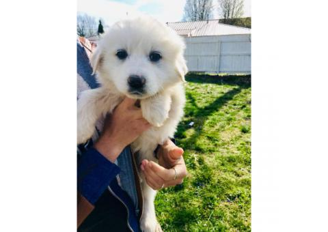7 Weeks Old All White Great Pyrenees Full Blooded Puppies