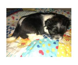 4 Full Blooded Shih Tzu Puppies