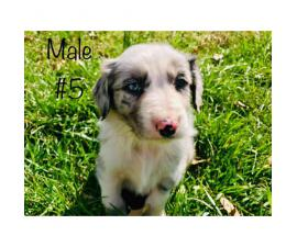 Beautiful Full blooded border collie merle and black & white