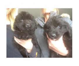 12 Weeks old Newfoundland puppies for sale