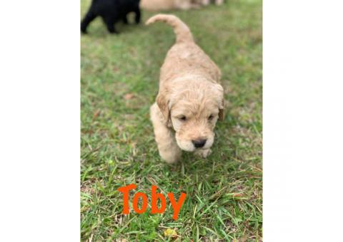 F1 Standard Labradoodle Puppies asking $1,000