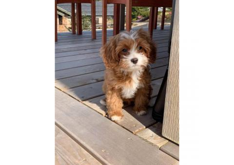 14 week old Cavapoo puppy available