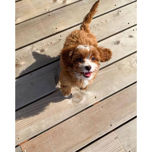 14 week old Cavapoo puppy available in Portland, Oregon