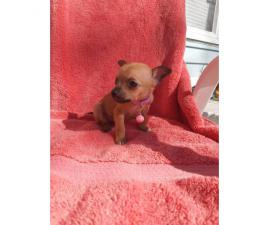 AKC Registered Toy Chihuahua currently 9 weeks old