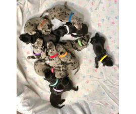 Great Dane Puppies 1 Merle male with 3 black female left