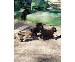 German Anatolian Shepherd Pups for Sale