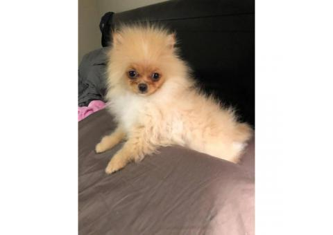 AKC male Toy Pomeranian Puppy for Sale