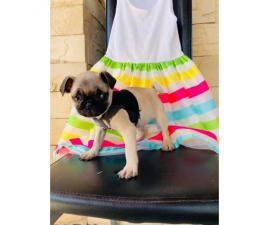 Really cute Pug puppies 2 months old only Males