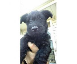 3 Adorable Scottish Terrier Puppies