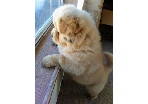 Chow Chow male puppies needing forever homes