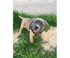 10 weeks American Bully puppy for sale