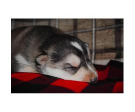 4 male Alusky puppies still available