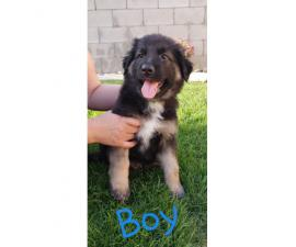 6 German Sheppard puppies ready for the good home