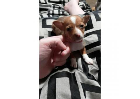 Two male Chihuahua's @ 6 weeks old