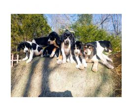 6 coonhound puppies left