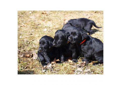 AKC Registered Black Lab Puppy for Sale
