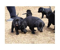 AKC Registered Black Lab Puppy for Sale