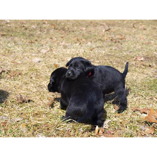 AKC Registered Black Lab Puppy for Sale in New Mexico USA